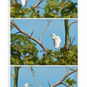 Snowy Egret Triptych Art Print