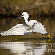 Snowy Egret With Lunch Art Print