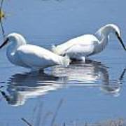 Snowy Egrets With Reflection Art Print