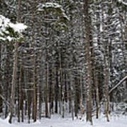 Snowy Forest In Acadia Art Print