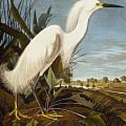 Snowy Heron Or White Egret Art Print
