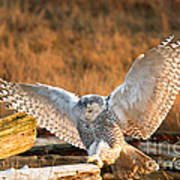 Snowy Owl - Bubo Scandiacus Print by Michael Russell