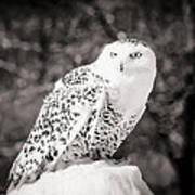 Snowy Owl Cold Stare Black And White Art Print