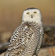 Snowy Owl Female Art Print