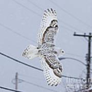 Snowy Owl Glides Into Town Art Print