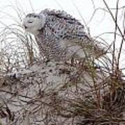 Snowy Owl In Florida 13 Art Print