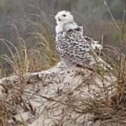 Snowy Owl In Florida 14 Art Print
