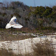 Snowy Owl In Florida 18 Art Print
