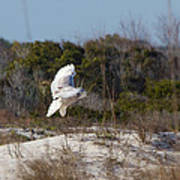 Snowy Owl In Florida 19 Art Print