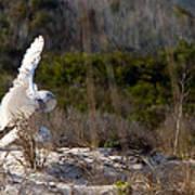 Snowy Owl In Florida 20 Art Print