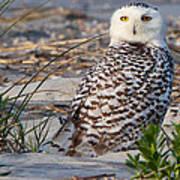 Snowy Owl In Florida 24 Art Print