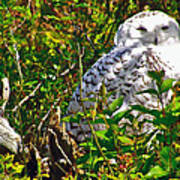 Snowy Owl In Salmonier Nature Park-nl Art Print