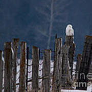 Snowy Owl On A Fence Art Print