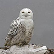 Snowy Owl On An Ice Flow Art Print