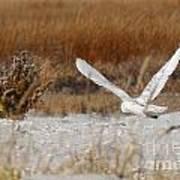 Snowy Owl On The Hunt Art Print