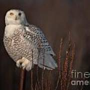 Snowy Owl Pictures 64 Art Print
