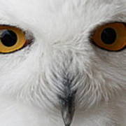 Snowy Owl Stare Art Print