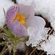 Snowy Pasqueflower Art Print