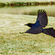Soaring Boat-tailed Grackle - Glow Art Print