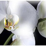 Soft Orchid Art Print