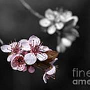 Soft Pink Blossom Art Print