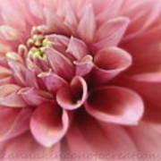 Soft Pink Dalia Art Print
