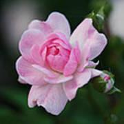 Soft Pink Miniature Rose Art Print by Rona Black