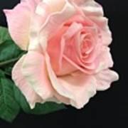 Soft Pink Rose 1 Art Print