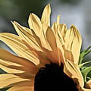 Soft Sunny Sunflower Art Print