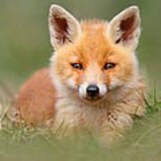 Softfox -young Fox Kit Lying In The Grass Art Print