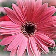 Softly In Pink - Zinnia Art Print