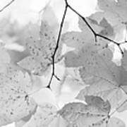 Softness Of Maple Leaves Monochrome Art Print