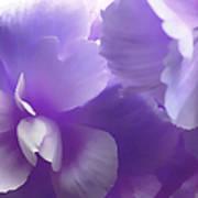 Softness Of Purple Begonias Art Print
