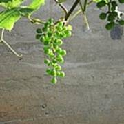 Solitary Grapes Print by Deb Martin-Webster