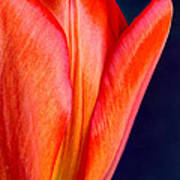 Solo Tulip Art Print