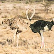 Somali Ostriches Kissing Art Print