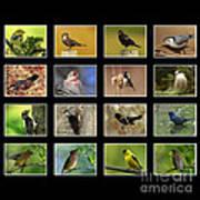 Song Birds Of Canada Collection Art Print