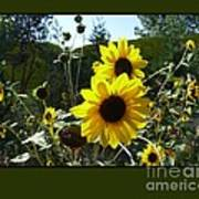 Song Of The Sunflower Art Print by Jacquelyn Roberts