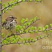 Song Sparrow Pictures 111 Art Print