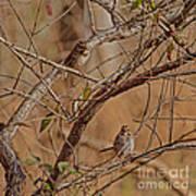 Song Sparrows Art Print