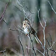 Songs Of Sparrows Art Print