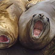Southern Elephant Seal Pair Calling Art Print by Konrad Wothe
