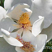 Southern Magnolia Blossom Art Print