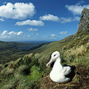 Southern Royal Albatross Art Print
