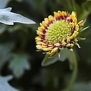 Spark Gaillardia Flower Bud Art Print