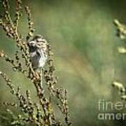 Sparrow In The Weeds Art Print
