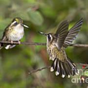 Speckled Hummingbirds Art Print