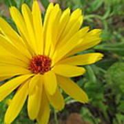 Speckless Yellow African Daisy Art Print