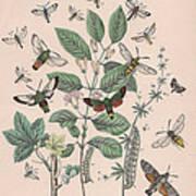 Sphingide - Thrididae - Seslidae Art Print