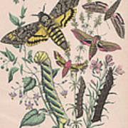 Sphingide Art Print